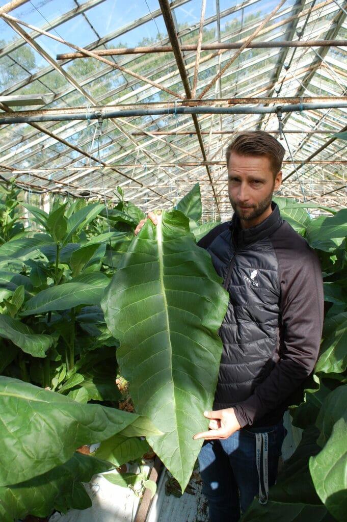 Tobaksplantorna trivs bra på Gotland.