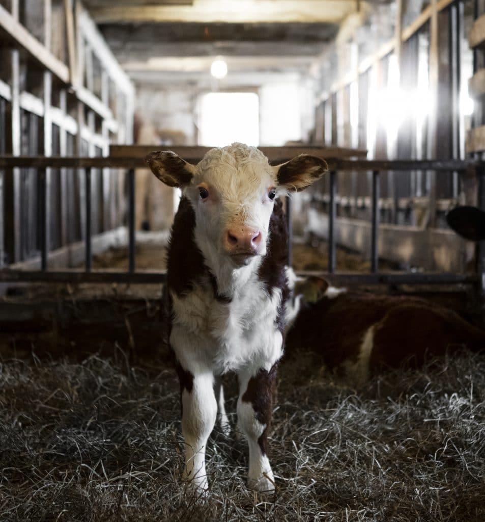 Den senaste medlemmen på Barkhults gård, endast några veckor gammal.