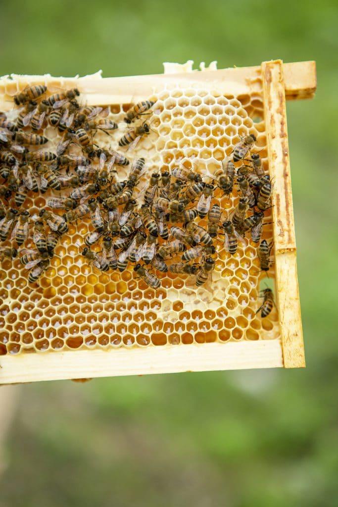Vaxram med honung, när det är vita vaxlock på cellerna är honungen mogen att skörda. Ramen ned honung sitter i skattlådan, de lådor man travar på höjden på bisamhället.